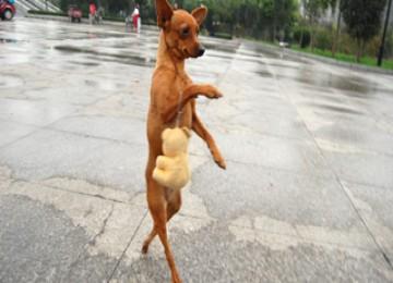 Lu lu anjing berjalan dengan dua kaki